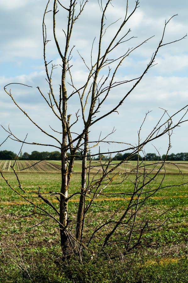 Het dode jonge boompje van de iepboom royalty-vrije stock foto