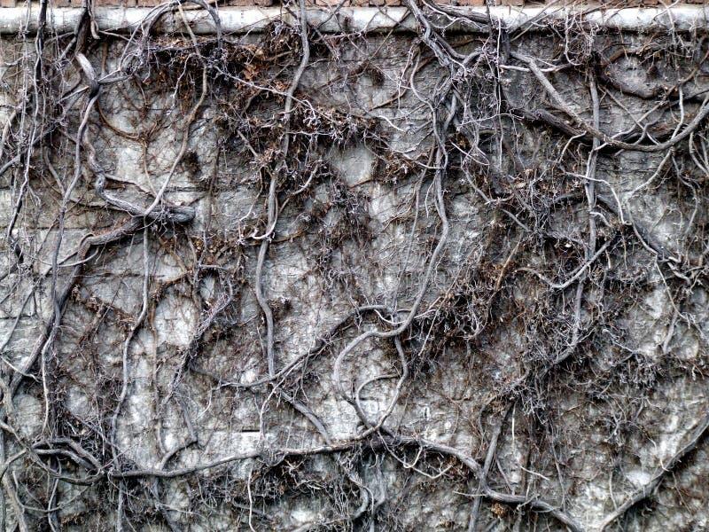 Het dode struikgewas van de muurklimop stock afbeeldingen