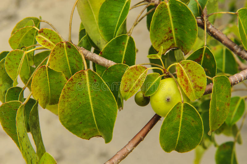 Het dodelijke de Boom en de appelfruit van Manchineel royalty-vrije stock fotografie
