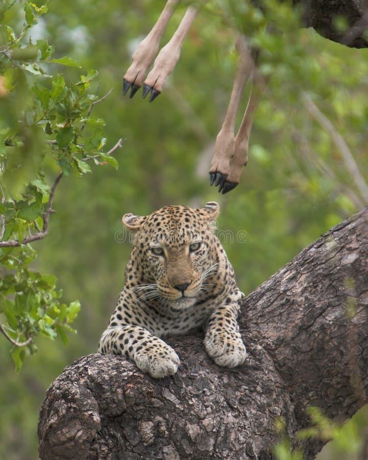 Het doden van de luipaard royalty-vrije stock afbeeldingen