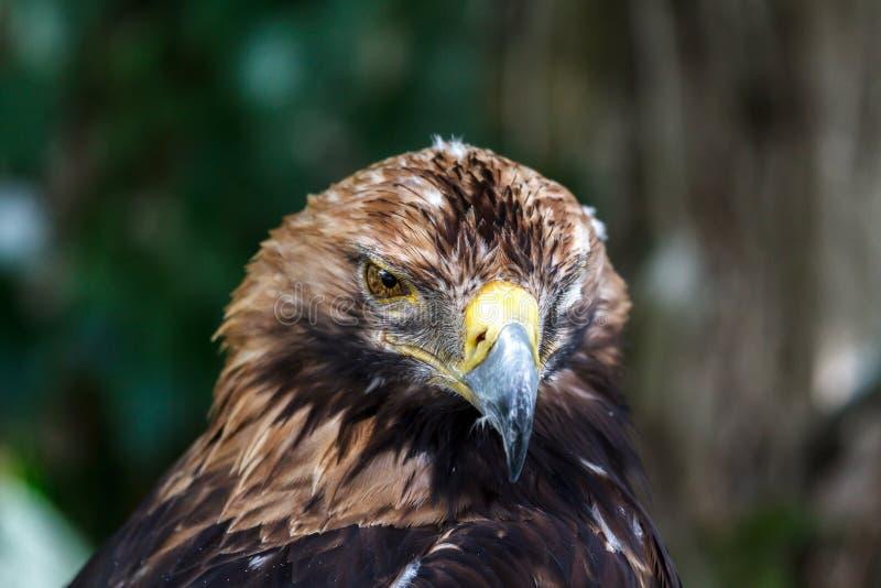 Het doordringen blik van de adelaar in de eigenlijke essentie stock fotografie