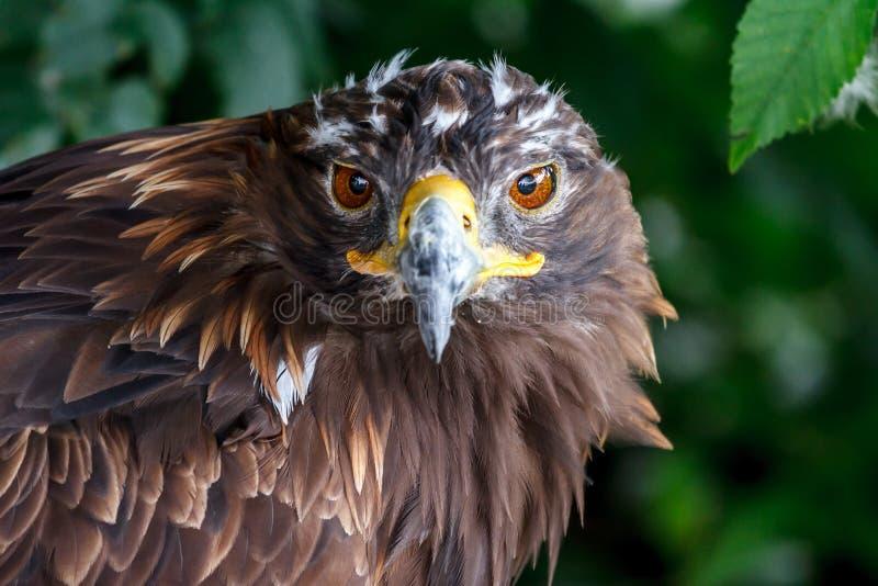 Het doordringen blik van de adelaar in de eigenlijke essentie stock afbeelding