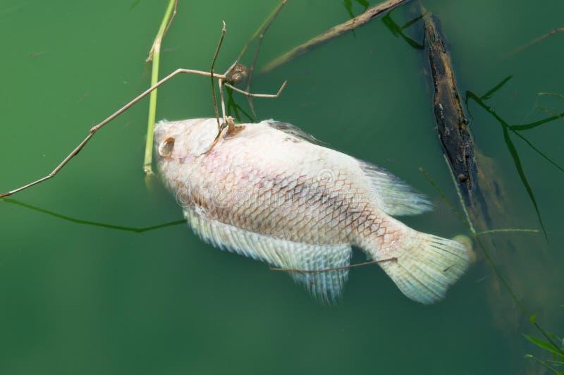 Het drijven Dode Vissen royalty-vrije stock foto
