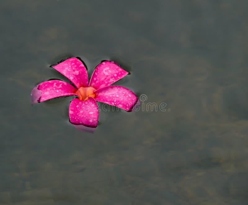 Het drijven Plumeria royalty-vrije stock afbeeldingen