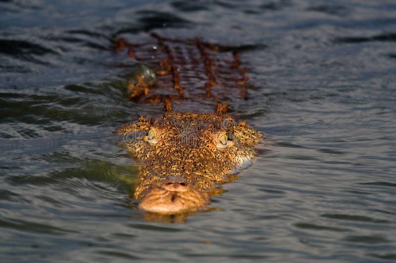 Het drijven van de krokodil stock afbeelding