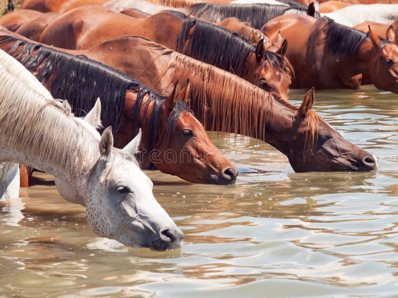 Het drinken Arabisch paard in het meer. stock afbeelding