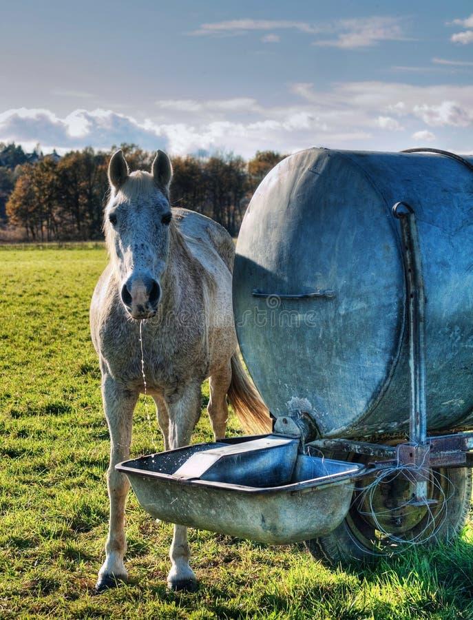 Het drinken van het paard stock foto's