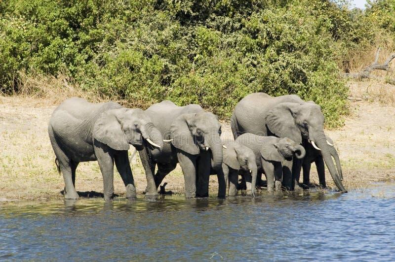 Het drinken van olifanten stock foto's