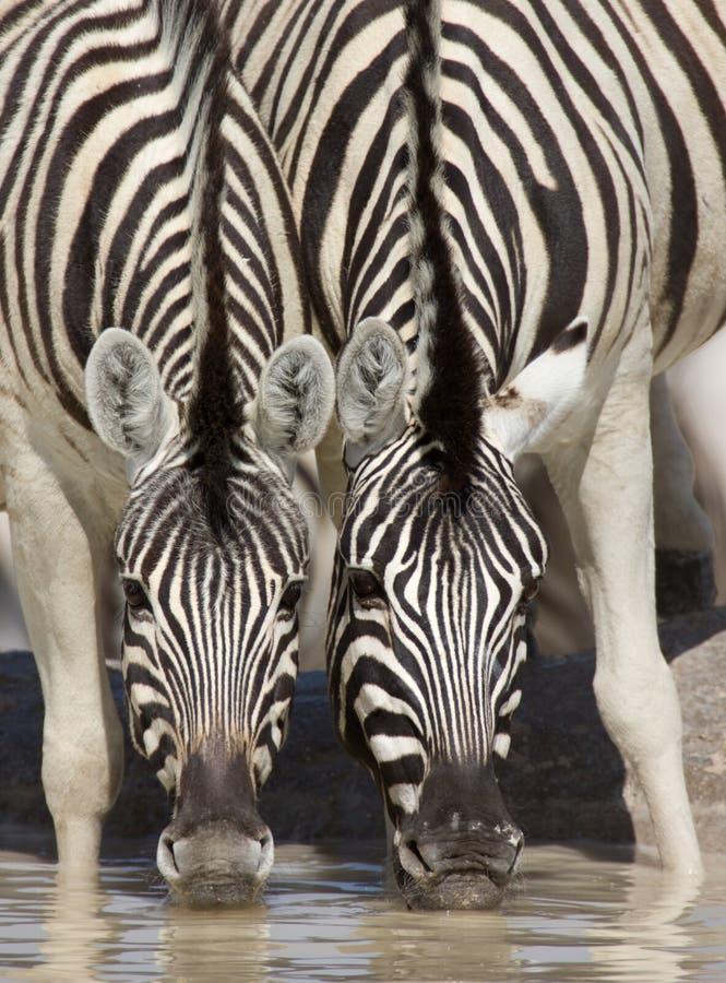 Het drinken van Zebras royalty-vrije stock foto's
