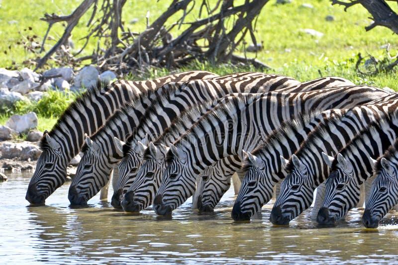 Het drinken zebras royalty-vrije stock foto