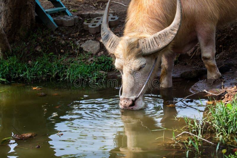 Het drinkwater van Azië van albinobuffels in vijver stock afbeeldingen