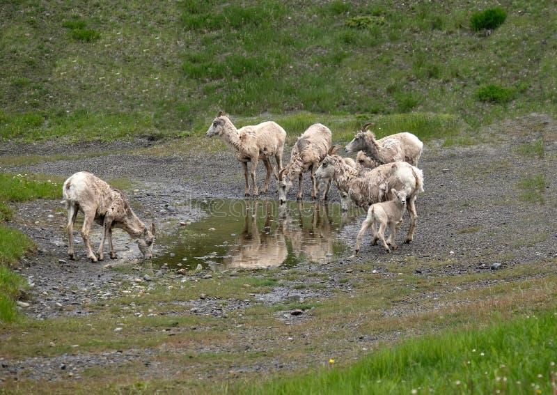 Het drinkwater van Bighornschapen in Peter Lougheed Provincial Park stock foto