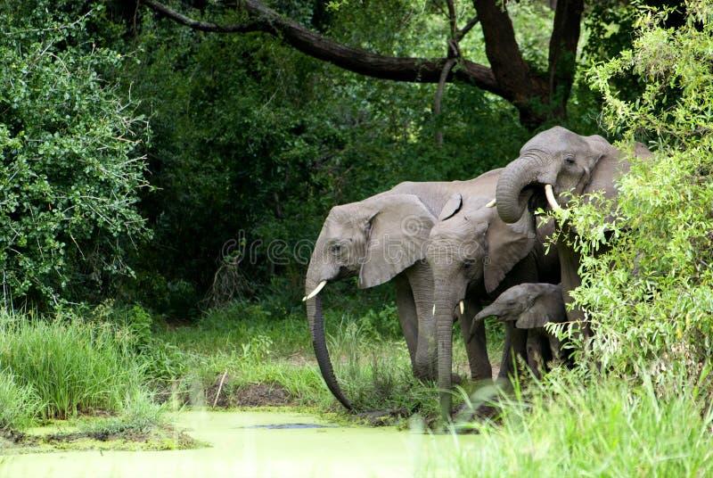Het Drinkwater van de olifantsfamilie royalty-vrije stock afbeeldingen