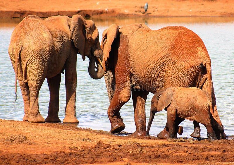 Het drinkwater van de olifantsfamilie samen royalty-vrije stock fotografie
