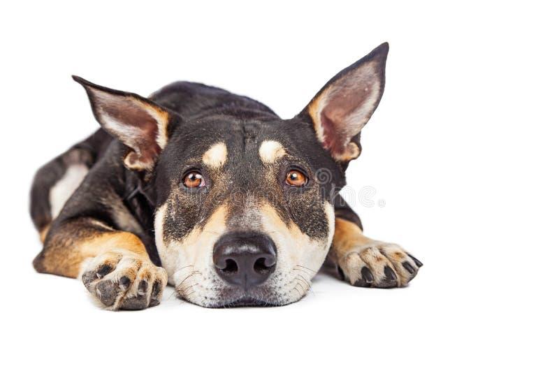 Het droevige Kijken het Gemengde Rassenhond Leggen royalty-vrije stock foto's