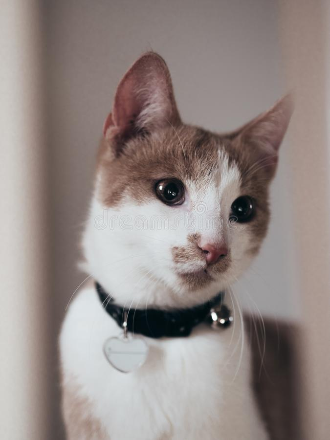 Het droevige kijken jonge kat met hart op kraag royalty-vrije stock afbeelding