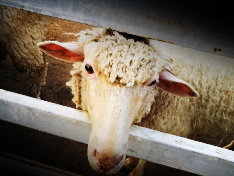 Het droevige kijken schapen stock fotografie