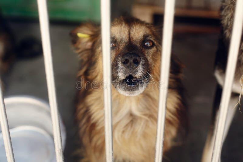 Het droevige puppy schreeuwen die in schuilplaatskooi huilen, ongelukkige emotionele mome royalty-vrije stock fotografie