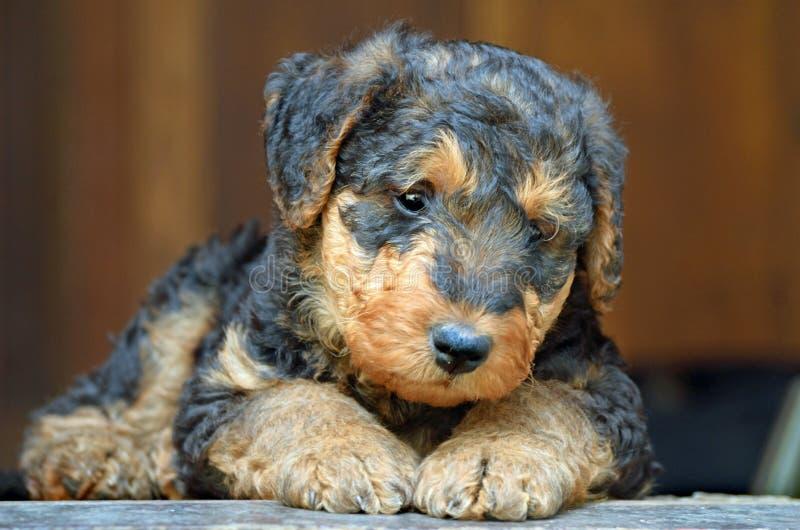 Het droevige puppy van Airedale Terrier royalty-vrije stock foto