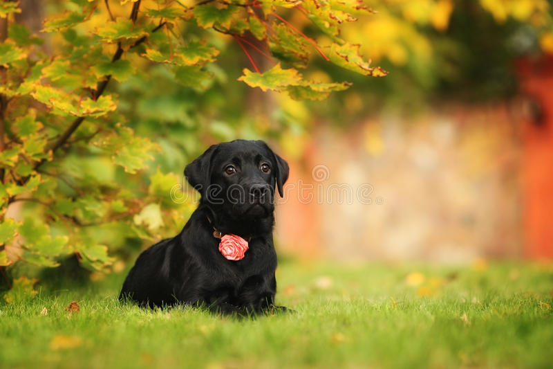 Het droevige puppy van Labrador royalty-vrije stock foto