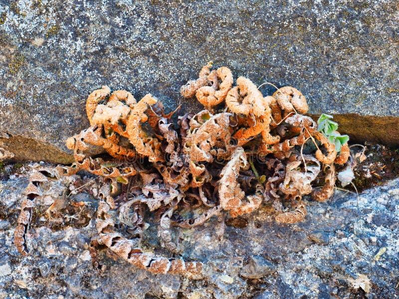 Het droge Onkruid Groeien in Oude Steen Behoudende Muur stock foto's