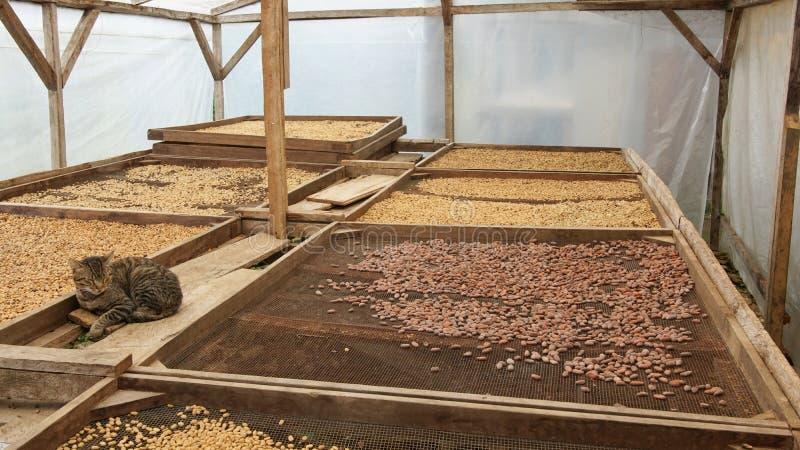 Het drogen van cacao en koffiebonen, Sao Tomé royalty-vrije stock afbeelding