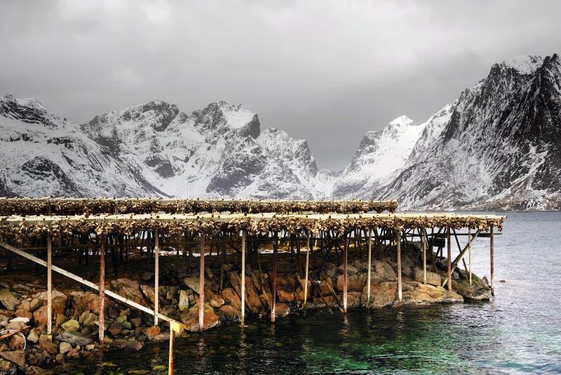 Het drogen van kabeljauwvissen in de winter Reine visserijdorp, Lofoten-eilanden royalty-vrije stock foto's