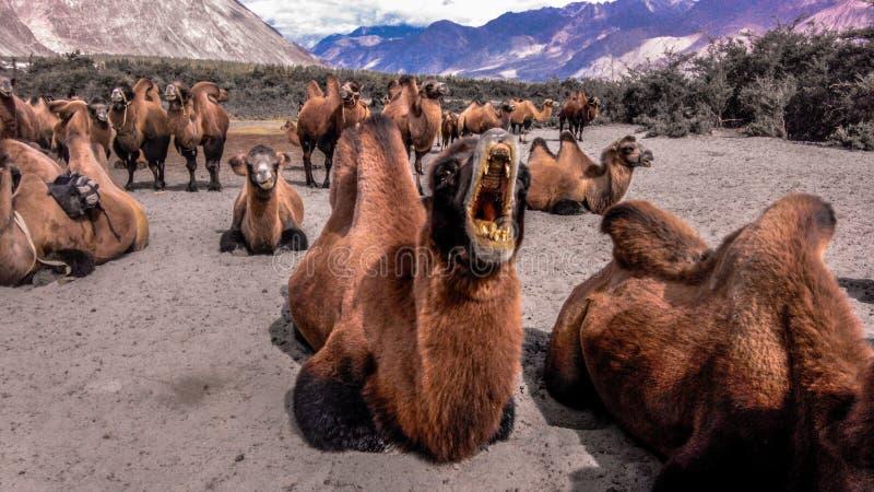 Het dubbel humped kameel stock afbeeldingen