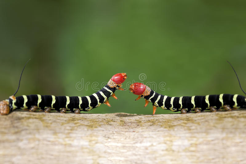 Het Duel van Caterpillar royalty-vrije stock foto's