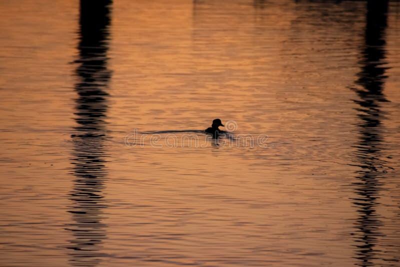 Het duiken de eend vist in Opdrachtbaai naast bezinning van zeilbootmast stock afbeeldingen
