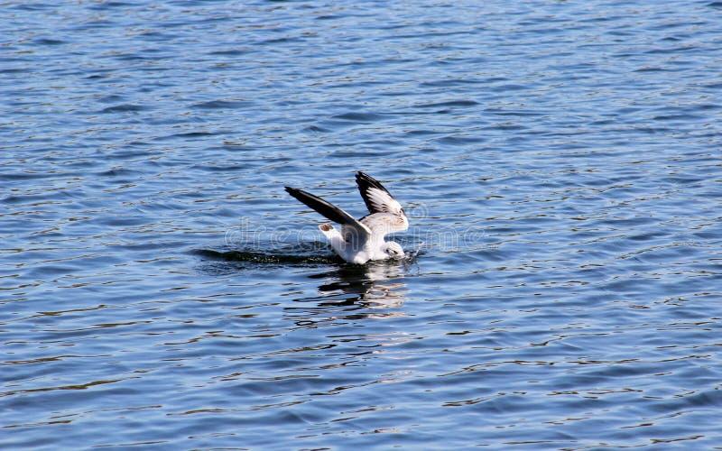 Download Het duiken Meeuw stock foto. Afbeelding bestaande uit vissen - 54075678