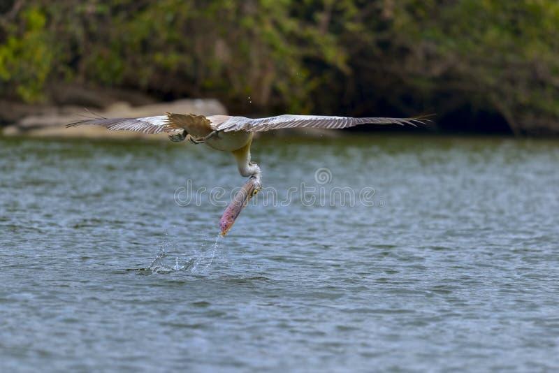 Het duiken pelikaan stock foto
