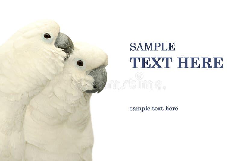 Het duo van papegaaien stock afbeelding