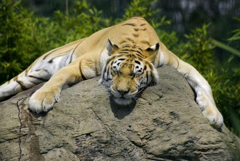 Het dutje van de tijger royalty-vrije stock foto's