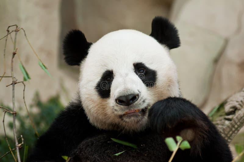 Het eatting van de panda royalty-vrije stock afbeelding