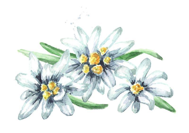 Het edelweiss bloeit Leontopodium-alpinum, Waterverfhand getrokken die illustratie op witte achtergrond wordt geïsoleerd royalty-vrije stock fotografie