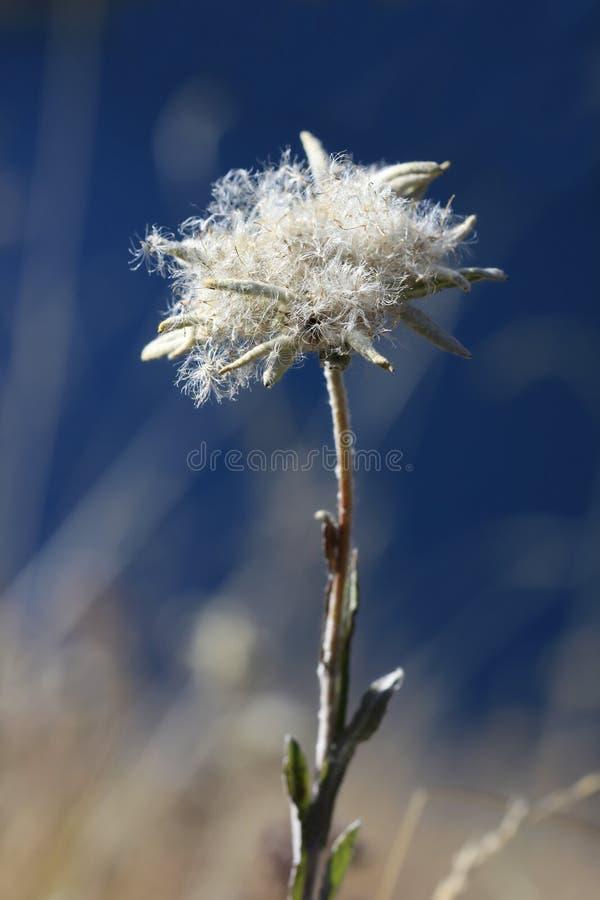 Het edelweiss van de herfst royalty-vrije stock foto