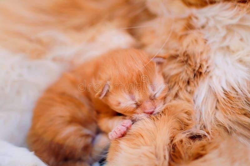 Het een weinig leuke gemberkatje slaapt op de buik van zijn moeder royalty-vrije stock foto