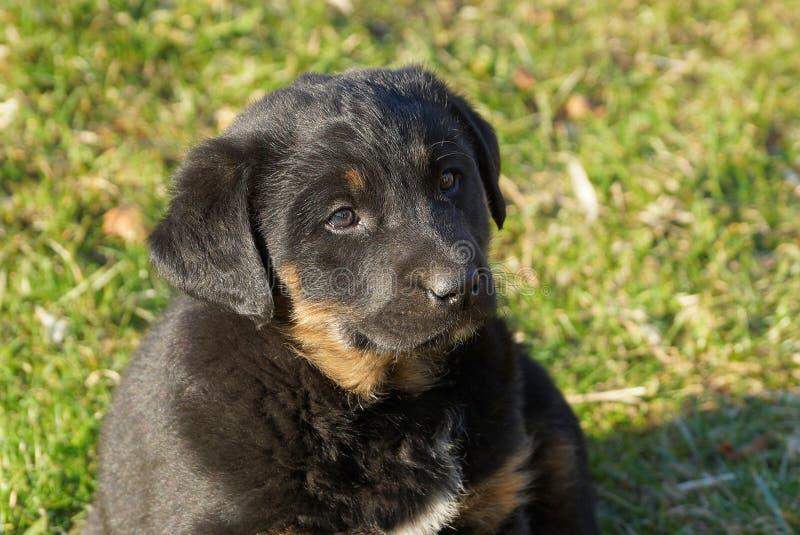 Het een weinig zwarte bruine puppy zit in het groene gras in het park royalty-vrije stock foto's