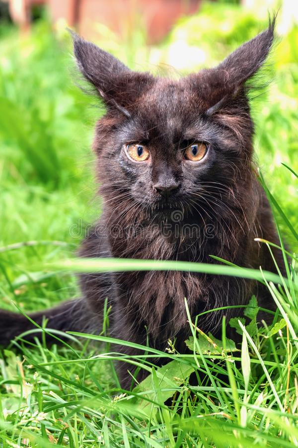 Het een weinig zwarte Maine Coon-katje zit op groen gras royalty-vrije stock afbeelding