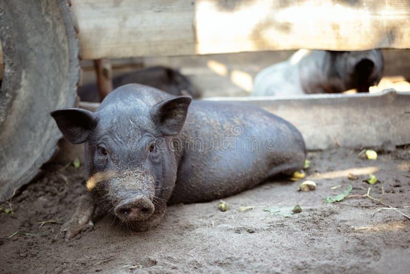 Het een weinig zwarte varken ligt op de grond stock afbeelding