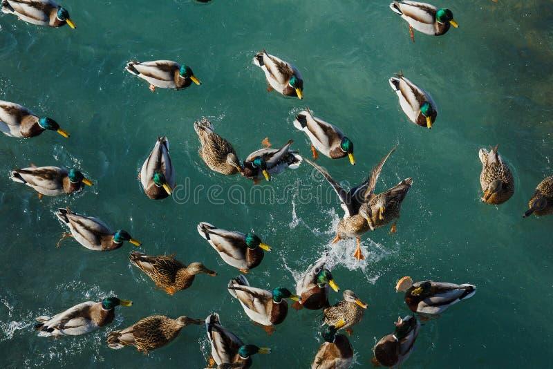 Het eendenwild Het aquatische Leven stock afbeeldingen