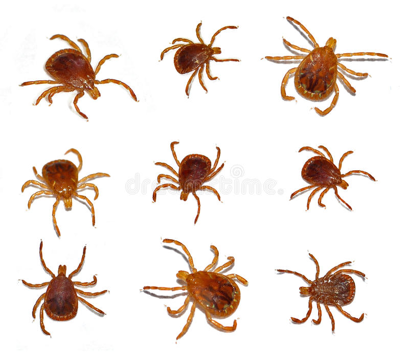 Het eenzame insect van de stertik stock foto