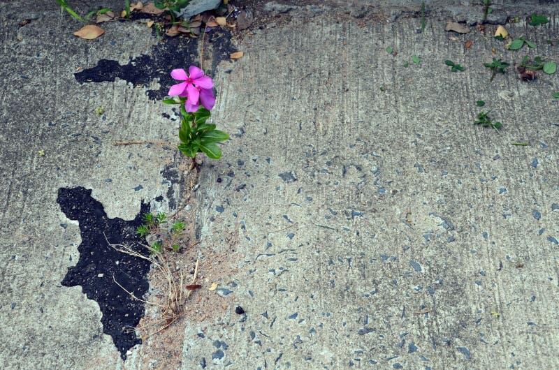 Het eenzame Roze Maagdenpalmbloem groeien in het uitbreidingshiaat in een concrete straat stock foto's