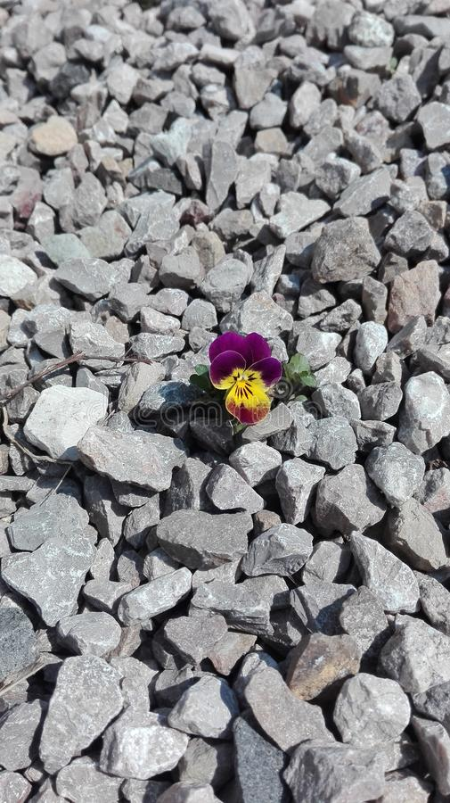 Het eenzame viooltjebloem groeien op stenen stock foto's