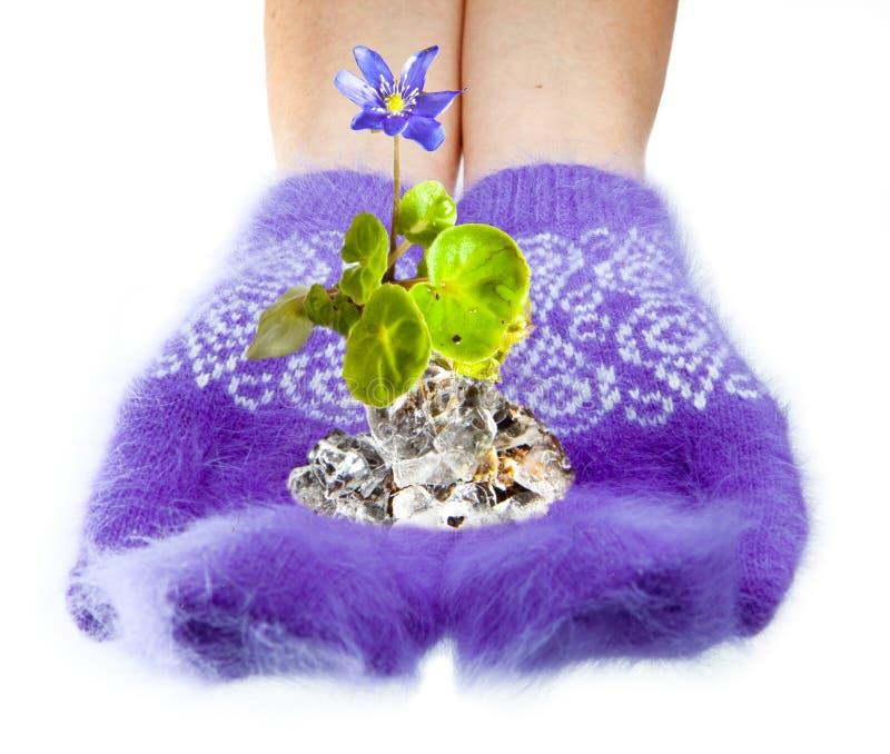 Het eerste de lentesneeuwklokje in handen met vuisthandschoenen royalty-vrije stock afbeeldingen