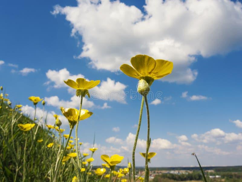 Het eerste gele bereik van de lentebloemen voor de zon stock fotografie