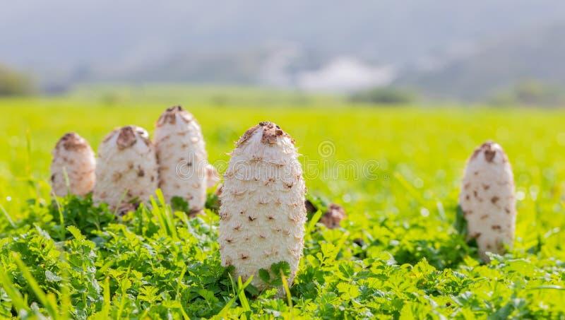 Het eetbare de paddestoel van Shaggy Mane Wild groeien in een weide van het land stock foto's