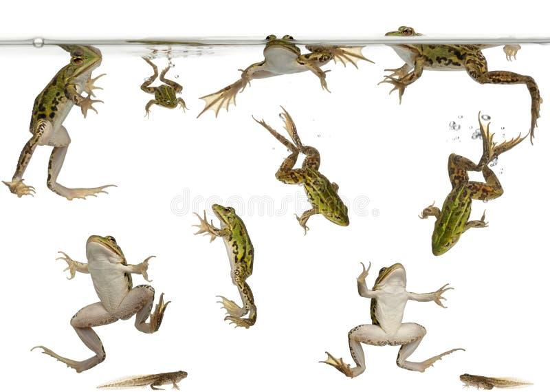 Het eetbare zwemmen van Kikkers en van kikkervisjes stock foto