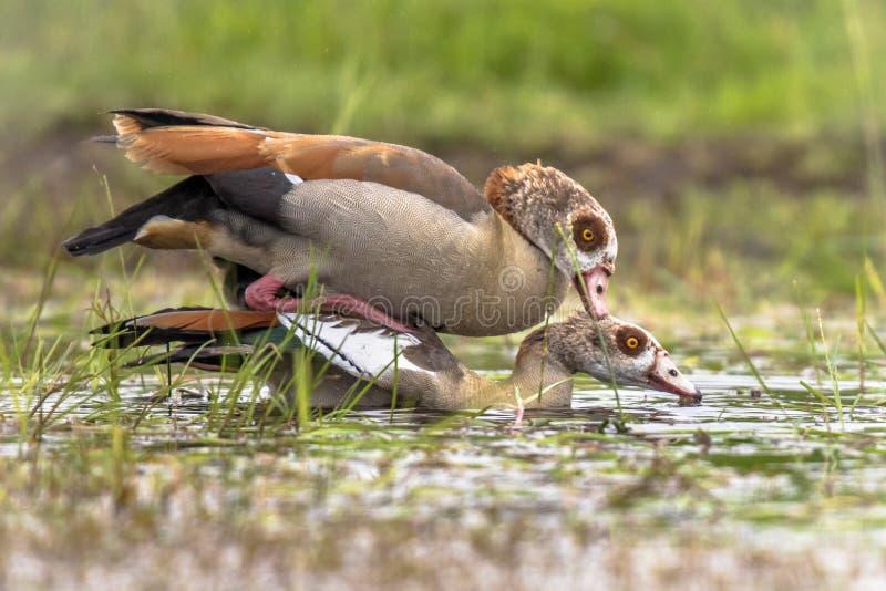 Het Egyptische het paar van de gansvogel koppelen stock foto's